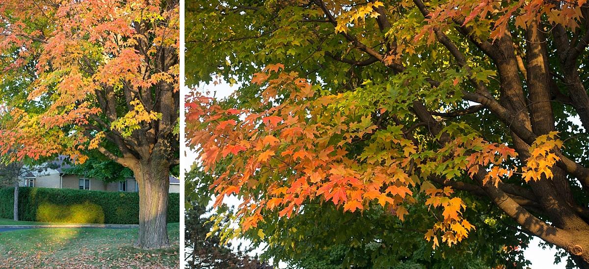 les couleurs de l'automne dans les arbres (érables) de Montréal au canada